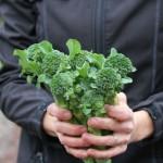 late fall broccoli harvest