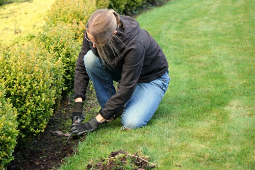 Mavis Garden Blog – Boxwood Hedges and Pulling Weeds