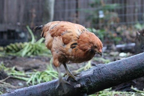 Raising Backyard Chickens – 3 Month Check Up