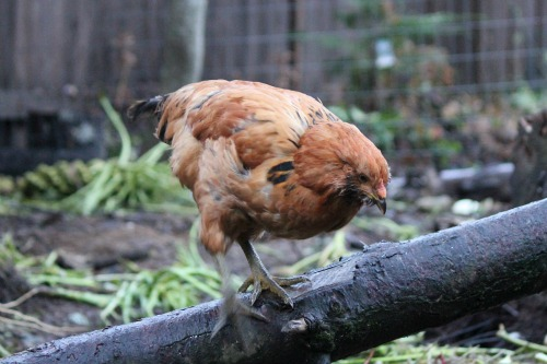 Raising Backyard Chickens – 3 Month Check Up
