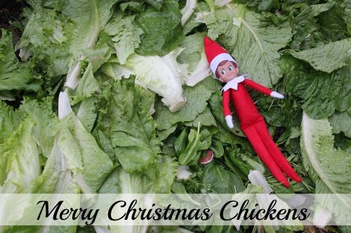 Raising Backyard Chickens – Merry Christmas