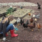 Mavis Garden Blog – Free Range Chickens Will Eat Your Garden Vegetables