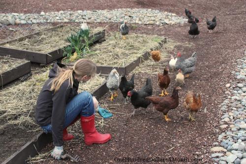 Mavis Garden Blog – Free Range Chickens Will Eat Your Garden Vegetables