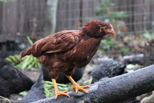 rhode-island-red-chicken-3-months-12-weeks.jpg