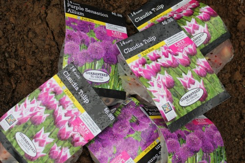 Mavis Garden Blog – Tulips and Daisies