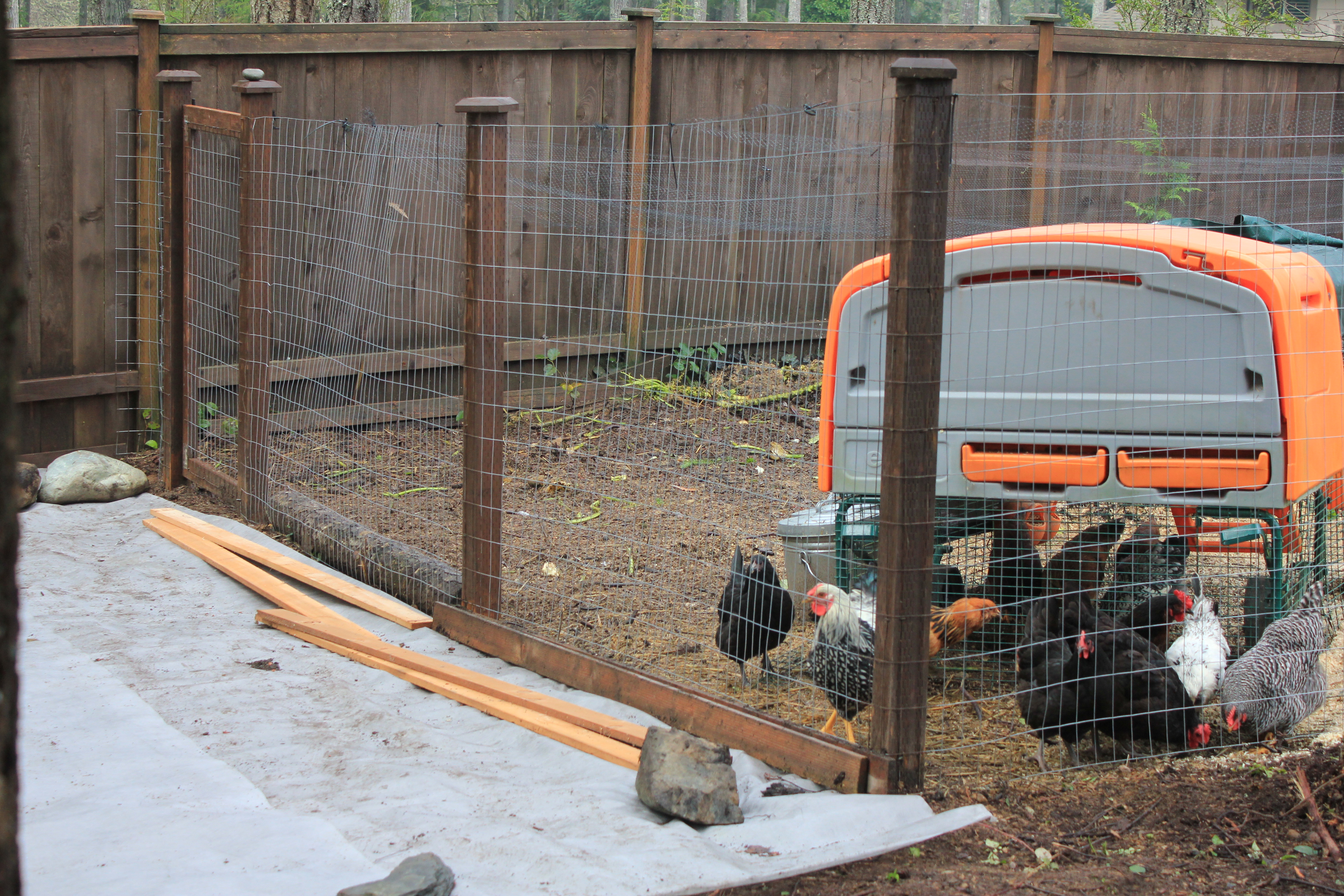 Raising Backyard Chickens in Suburbia