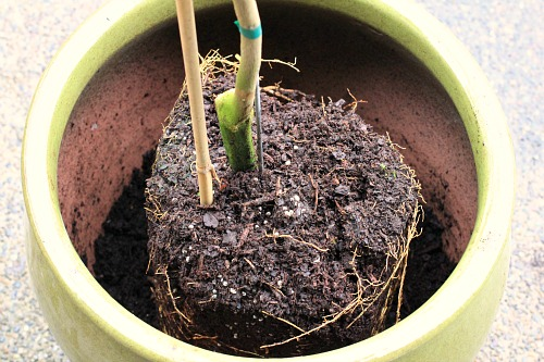 DIY How to Plant a Meyer Lemon Tree in a Container