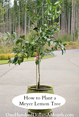 How to Plant a Meyer Lemon Tree Container