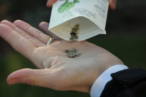 artichoke seeds picture botanical interets