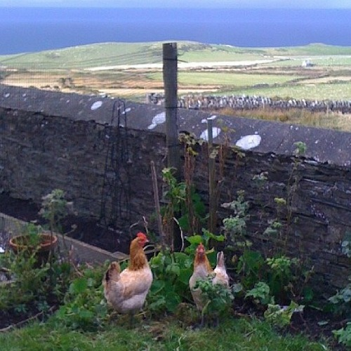chickens isle of man