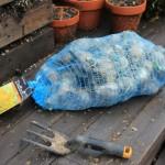 Mavis Garden Blog – Growing Daffodils Indoors
