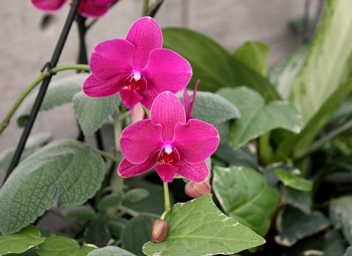 hot pink orchid