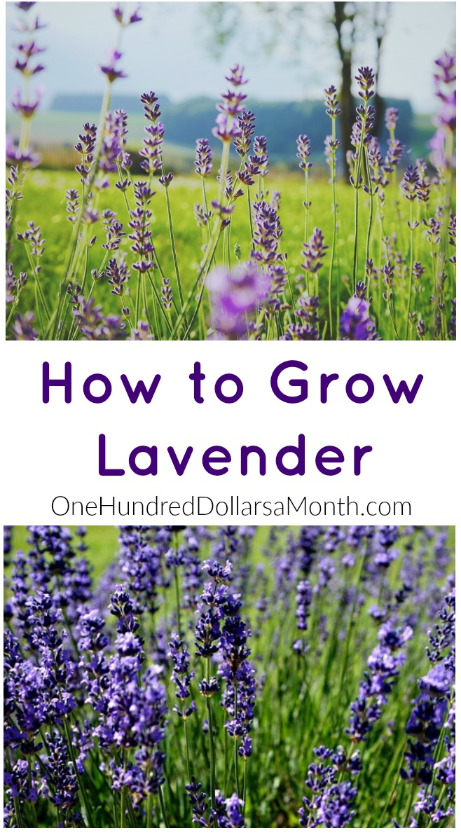 How to Grow Lavender {Start to Finish}