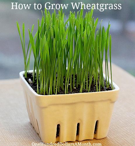 How to Grow Wheatgrass {Start to Finish}