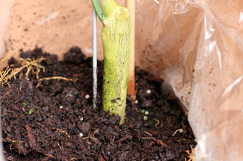 meyer lemon tree root ball