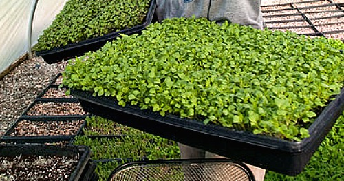 How To Grow Microgreens Start To Finish One Hundred