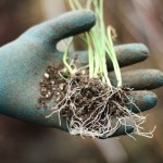How to Grow Onions – Start to Finish