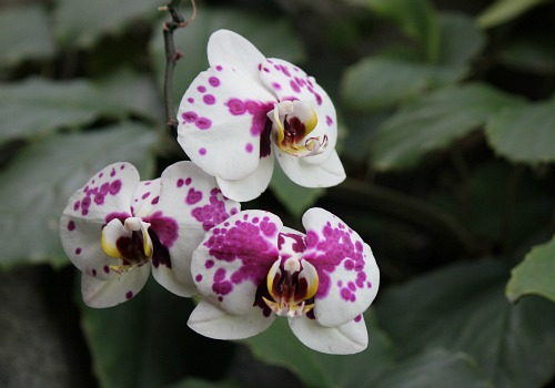purple white spotted orchid