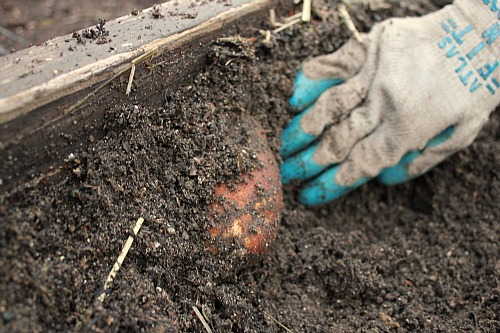 russet potato garden box