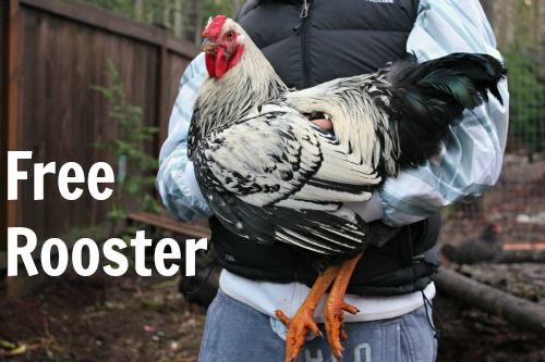 Save Pablo! Anyone Want a FREE Rooster?