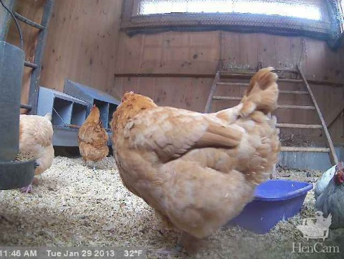 The Hen Cam – Watch Chickens and Goats Live from Massachusetts