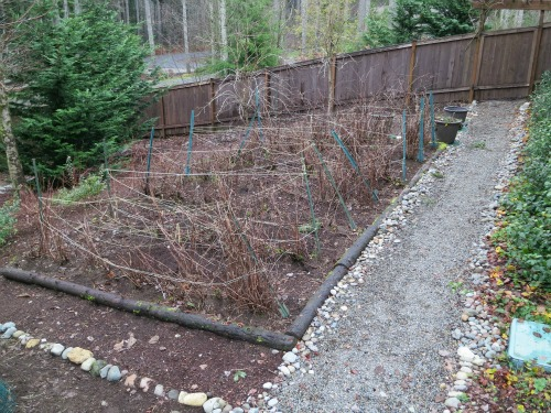 western washington raspberry canes in winter