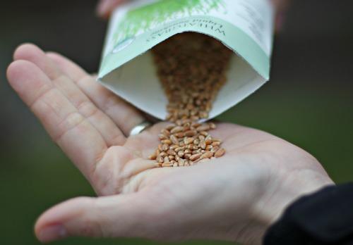 wheat grass seeds botanical interests