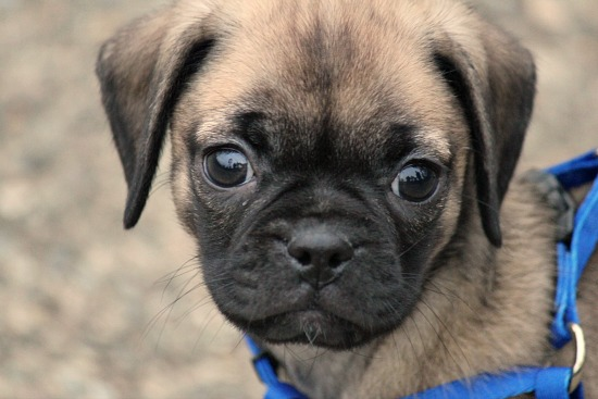 Puggle Dog Names 8 Week Old Puggle Dog Brown