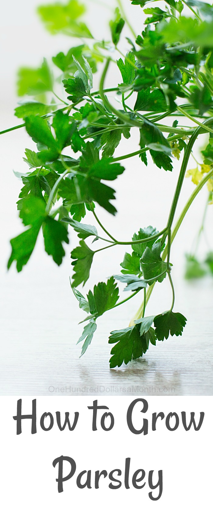 How to Grow Parsley {Start to Finish}