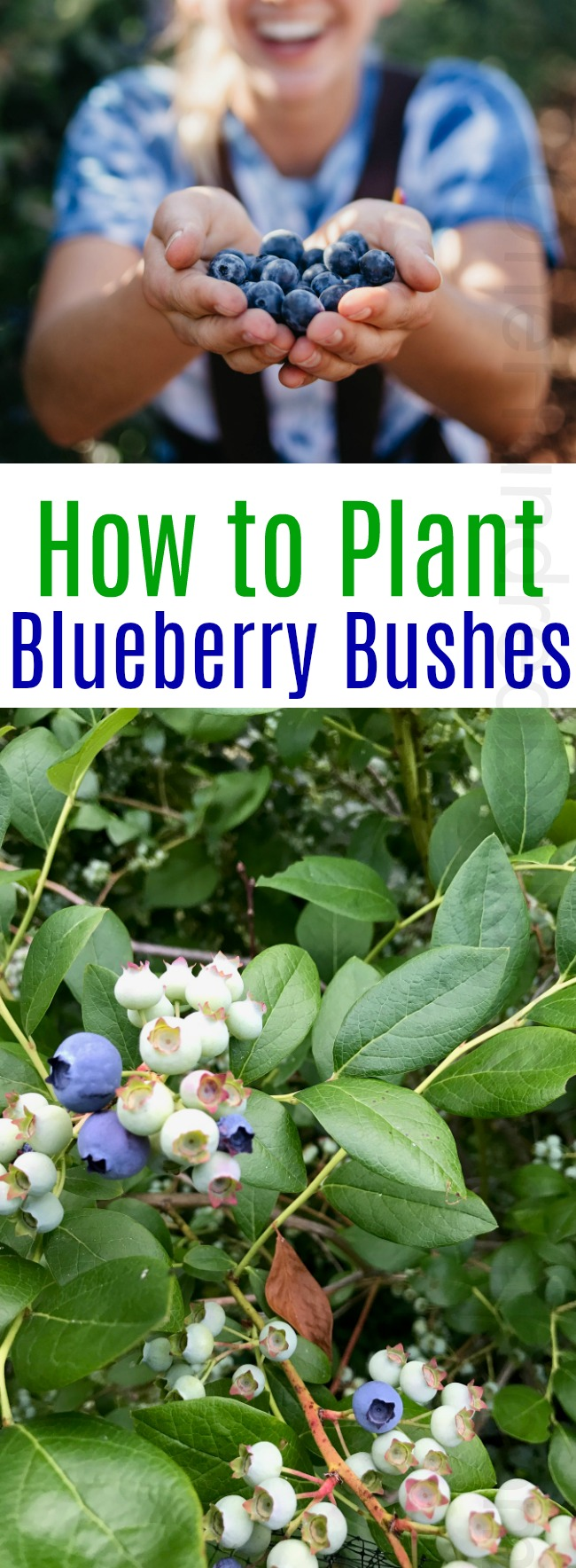 How to Plant a Blueberry Bush