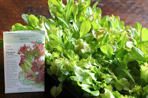 botanical interests mesclun lettuce