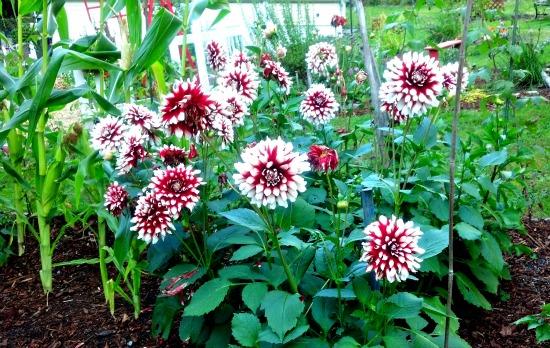 dahila flowers