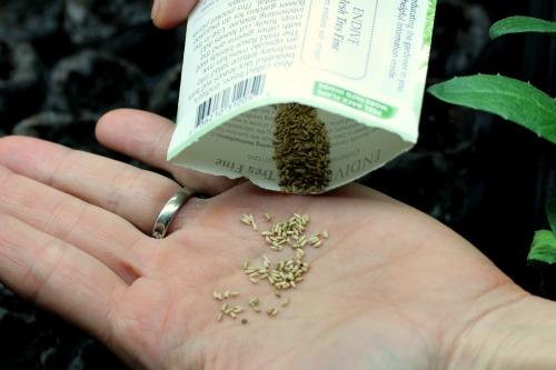 endive seed