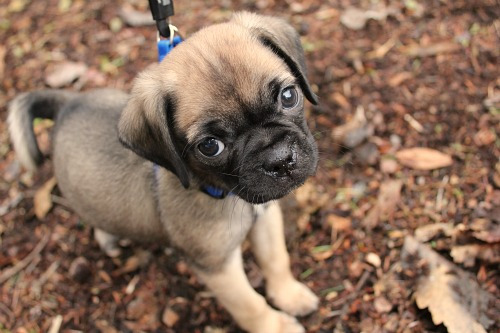 Meet Lucy… Our New Puggle Dog