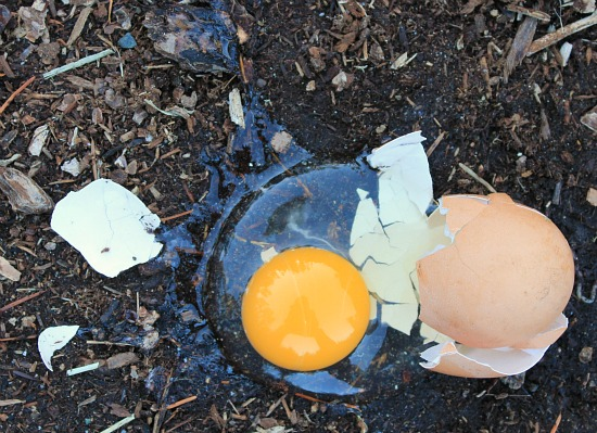 Raising Backyard Chickens –  Ameraucana Chickens Lay Green Eggs