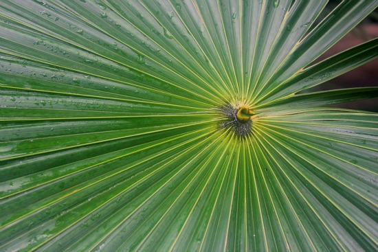 giant palm leaf