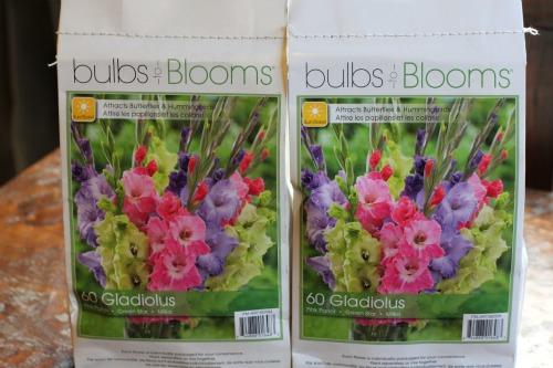 gladiolus bulbs pink purple green