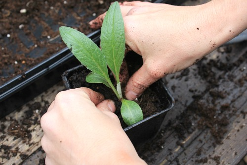 how to transplant seedlings potting soil