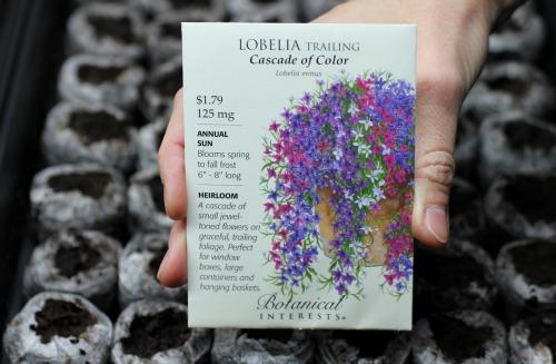 how to grow lobelia cardinalis from seed