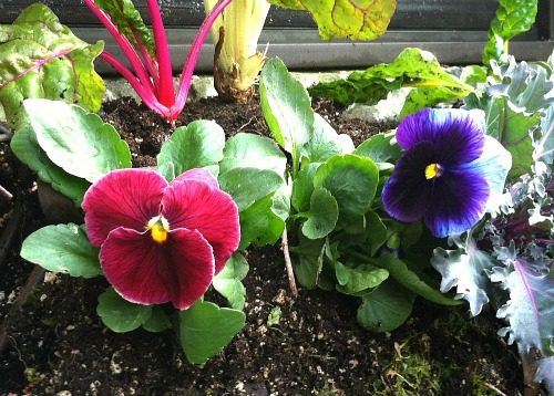 red purple pansies pansy