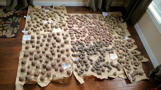 seed potatoes on floor