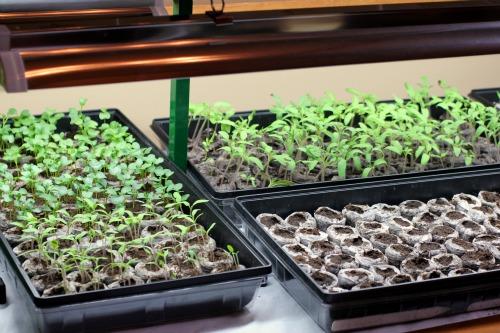 Mavis Garden Blog – Pictures of Tomato, Kale and Artichoke Seedlings