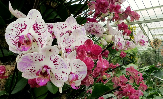 white orchid pink spots
