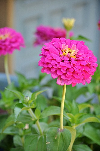 How to Grow Zinnias {Start to Finish}