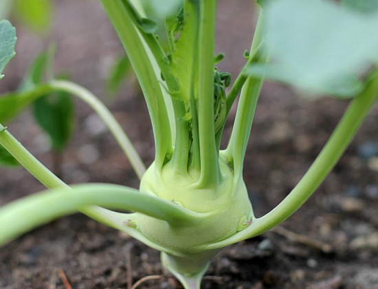 How to Grow Kohlrabi {Start to Finish}