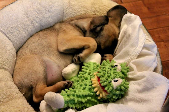 brown puggle dog napping