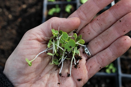 How to Grow Cauliflower {Start to Finish}