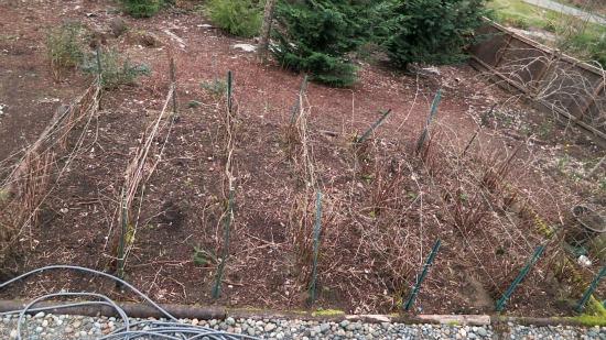 cascadia raspberries in winter