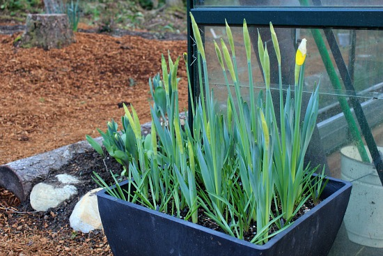 daffodils in a container