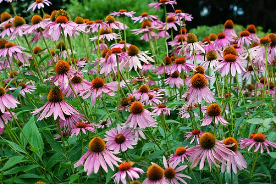 How to Grow Echinacea {Start to Finish}